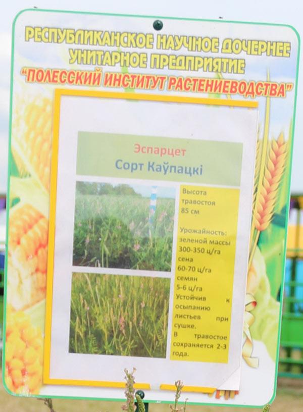 Полесский институт растениеводства. Эспарцет, сорт Каупацкi