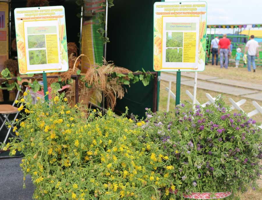Полесский институт растениеводства. Люцерна желтогибридная сорта Вера, люцерна посевная сорта Превосходная