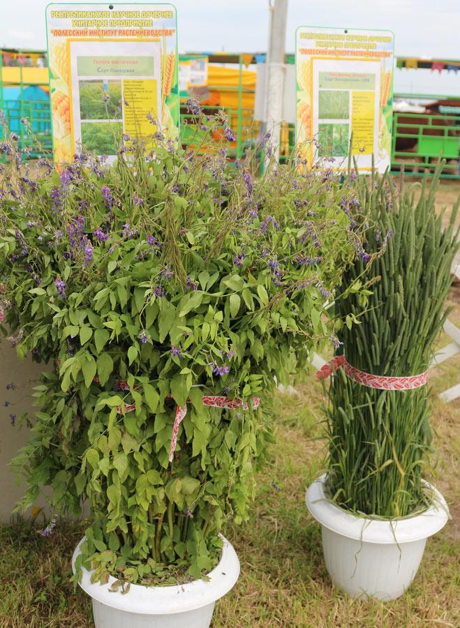 Полесский институт растениеводства. Галега восточная сорта Полесская, тимофеевка луговая сорта Белорусская 1308
