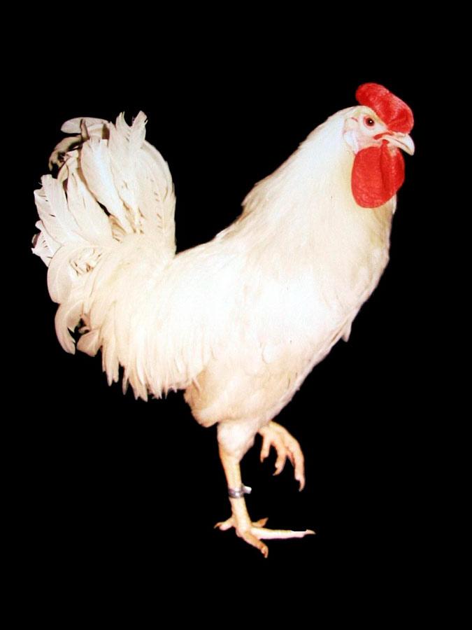 Петух-производитель породы род-айленд белый. Исследования Опытной научной станции по птицеводству