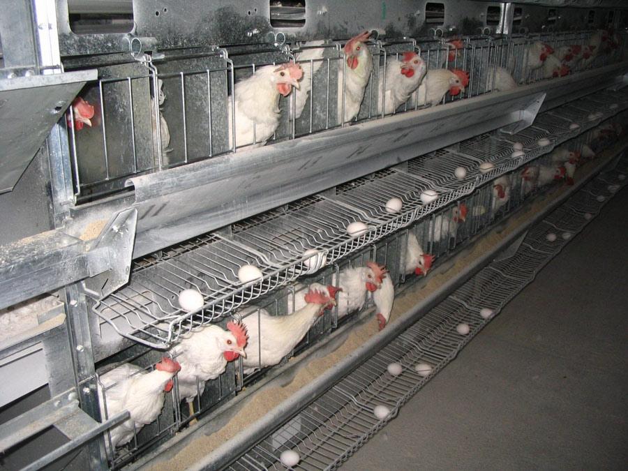 Содержание кур-несушек кросса Беларусь аутосексный в индивидуальных клеточных батареях. Исследования Опытной научной станции по птицеводству