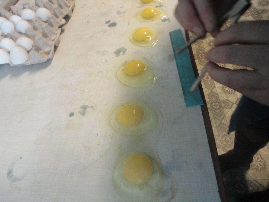 Изучение морфологических качеств яиц. Исследования Опытной научной станции по птицеводству