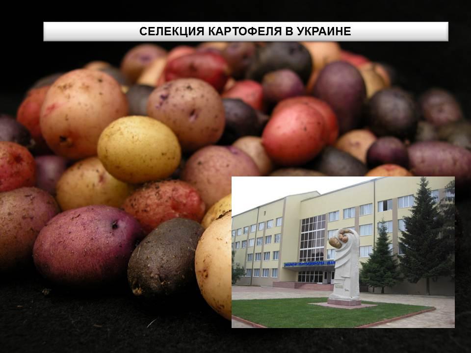 Бондарчук А.А., Фурдыго Н.Н. Селекция картофеля в условиях Украины. Презентация