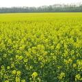 производство семян масличных культур